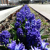 Hyacinths and pansies were the most prevalent flowers in bloom outdoors.