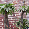 In the Linnean House.  Pacypodium, or Madagascar Palm.