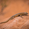 Road to Babylon Side-blotched Lizard