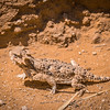 Horned Lizard on Road to Ft Pearce 4/20/2016