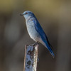 Kolob Terrace Road Mountain Bluebird