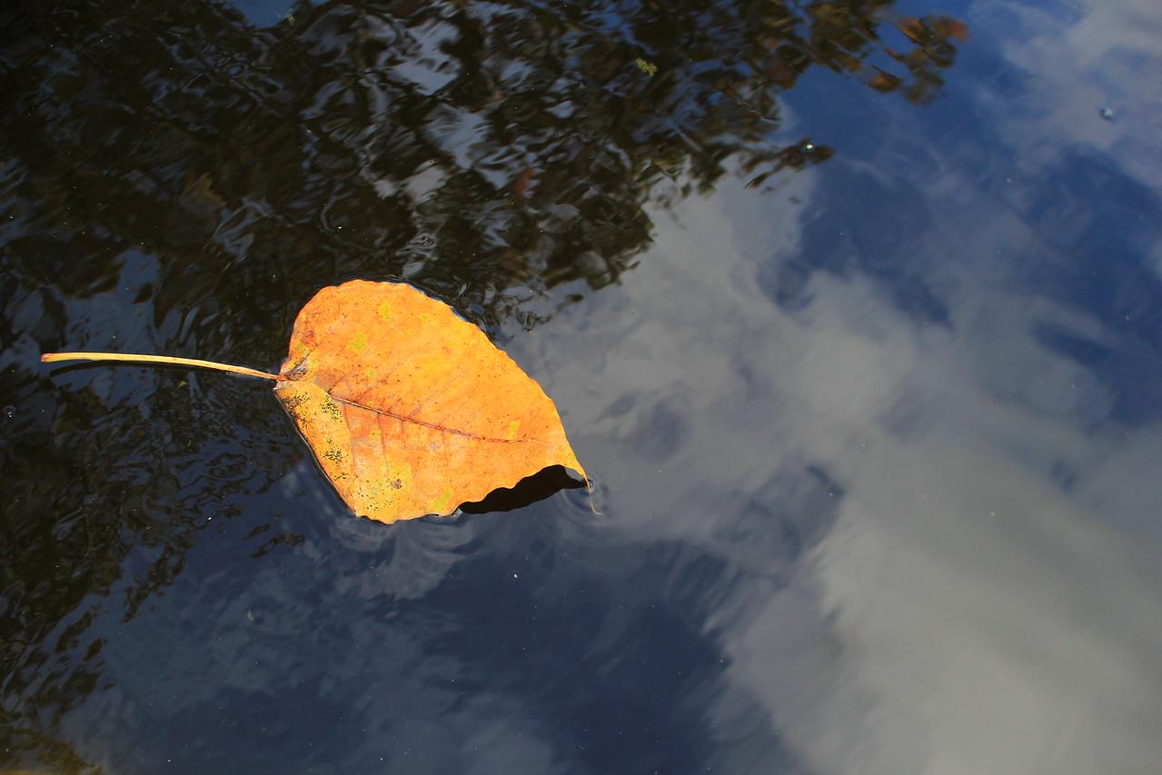 boddhi leaf