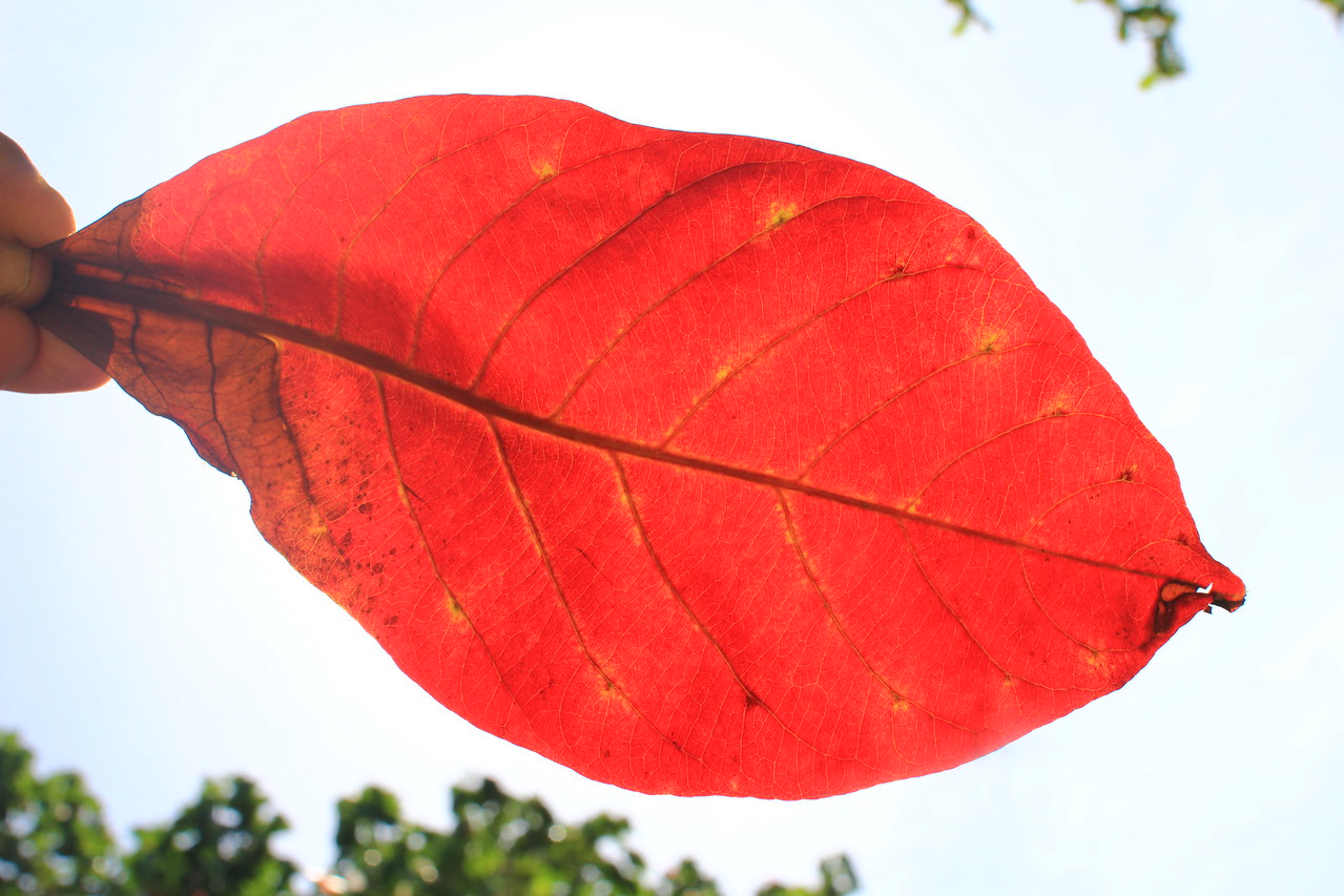 Leaf & leaves