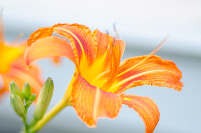 Day lily Edge I