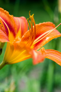 Orange day lily, vertical