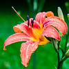 Day Lily buds: Give them time II