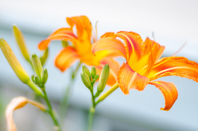 Day Lily buds: Give them time X