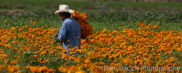 Marigold Picker