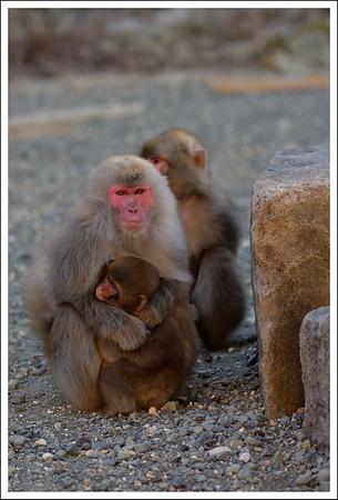 Monkeys have babies every other year,usually in May. They take care of older siblings until they are about 5.  This is a mother with a 18 month old and a 3 and a half year old.