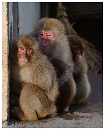 It was freezing cold with a very strong wind.  Many of the monkeys cuddled near a wall or some other place to get out of the wind.