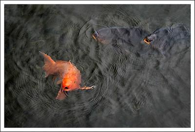 Koi at Lake Ashi