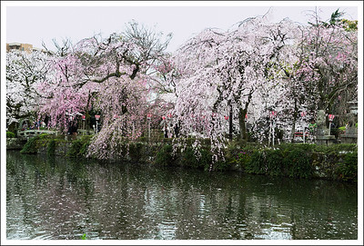 Cherry trees at the pond.