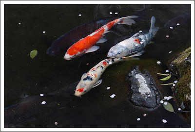 More koi, this time at Sanno Gardens.