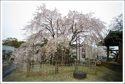 A huge weeping cherry at the same small shrine.
