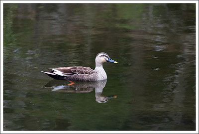 A duck in the pond at Sanno Gardens.