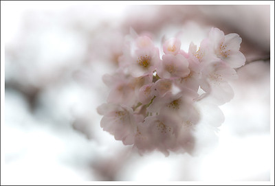 A double exposure of one of the cherry blossom clusters.