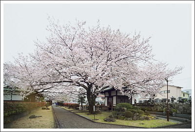 A very kind elderly gentleman told us about this small shrine that had some really beautiful cherry trees.