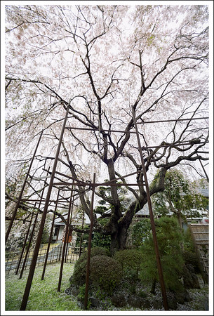 This weeping cherry tree is so huge that it requires a support system.