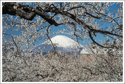Souga Plum Orchard 02-2017