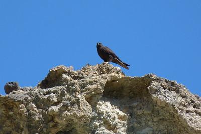 Eleonoras Falcon