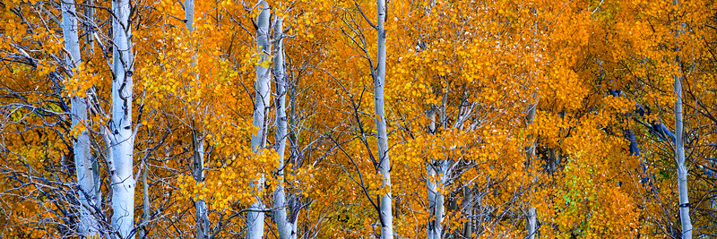 Fall Aspens McGee Creek