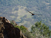 Turkey Vulture over Eagle Peak. No eagles to be seen.