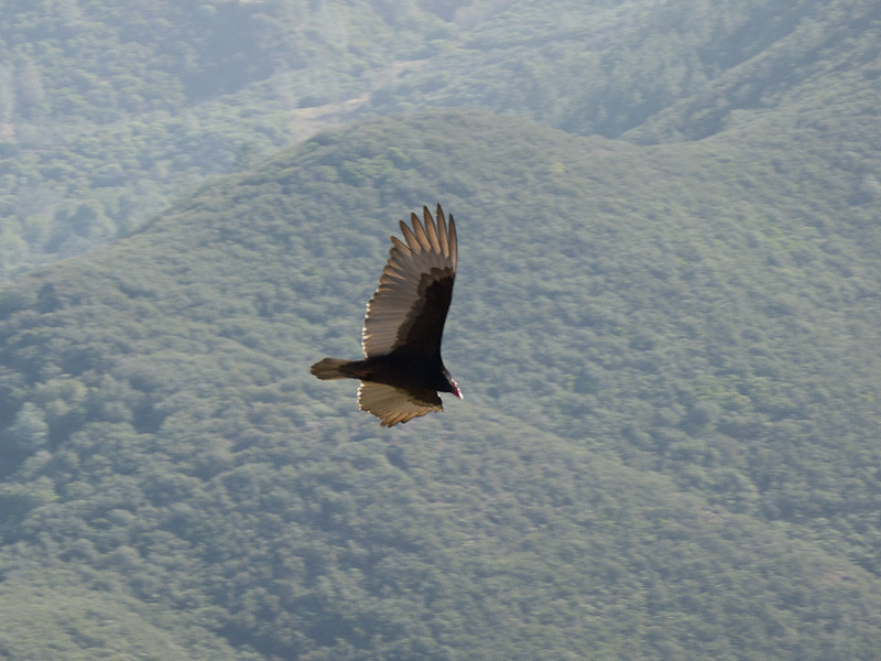 Turkey vulture over over Meridian Ridge.