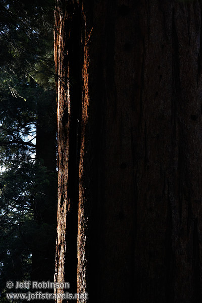 Sunlight catching the edge of the reddish bark of a Giant Sequoia (7/16/2011, South Grove Hike, Calaveras Big Trees SP)