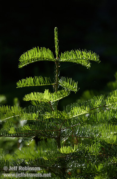 The top of a backlit small green fir tree (7/16/2011, South Grove Hike, Calaveras Big Trees SP)