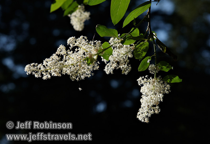 Backlit white blossoms and green leaves from a tall bush or short tree (7/16/2011, South Grove Hike, Calaveras Big Trees SP)