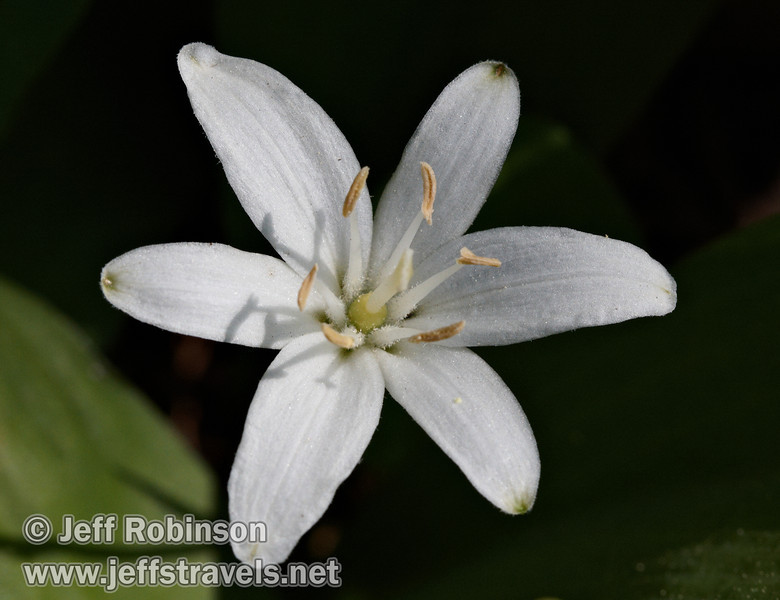 Queen's Cup or Bride's Bonnet (Clintonia uniflora) : A white flower with 6 petals and 6 stamen (National Audubon Society Field Guide to Wildflowers, Western Region, plate 63, p. 582)(7/16/2011, South Grove Hike, Calaveras Big Trees SP)