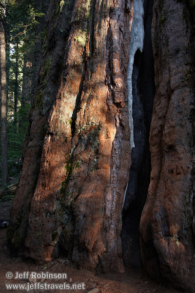 Filtered sunlight hitting the reddish bark and green moss at the base of a Giant Sequoia (7/16/2011, South Grove Hike, Calaveras Big Trees SP)
