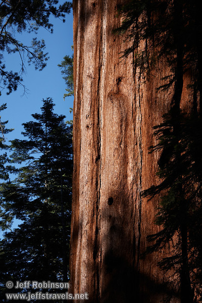 Sunlight on the reddish bark of a Giant Sequoia, with shaded trees and deep blue sky behind (7/16/2011, South Grove Hike, Calaveras Big Trees SP)