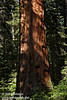 Reddish bark of a a Giant Sequoia in filtered sunlight (7/16/2011, South Grove Hike, Calaveras Big Trees SP)