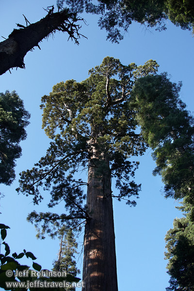 Looking up at the top of a large Giant Sequoia. It appears to have lost its top as many have (likely due to a lighting strike)  (7/16/2011, South Grove Hike, Calaveras Big Trees SP)