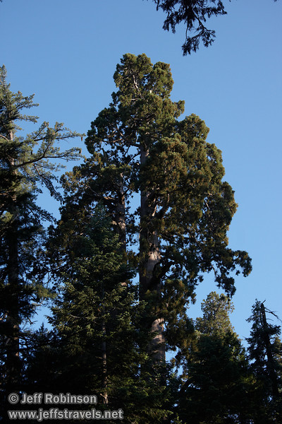 The upper part of a Giant Sequoia (7/16/2011, South Grove Hike, Calaveras Big Trees SP)