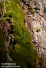 Green moss growing on the trunk of a Giant Sequoia (7/16/2011, South Grove Hike, Calaveras Big Trees SP)