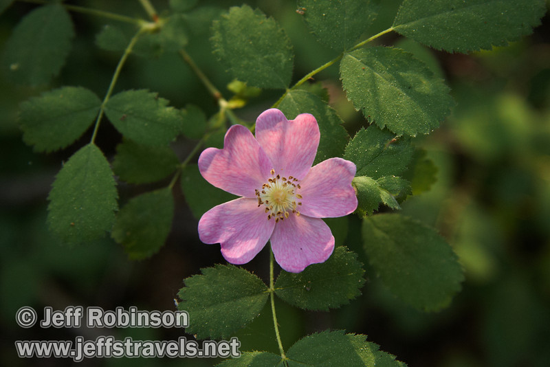 Wild Rose or Woods Rose (Rosa woodsii) : Pink flower with 5 petals, and green leaves with toothed edges (Sierra Nevada Wildflowers by Elisabeth L. Horn, p. 152; Wildflowers of the Eastern Sierra and adjoining Mojave Desert and Great Basin by Laird R. Blackwell, p. 115) (7/16/2011, South Grove Hike, Calaveras Big Trees SP)