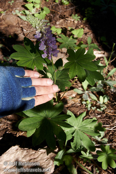 My hand (for scale) next to lavender flowers of some variety of lupine that has very large leaves (some as far across as the width of my hand) (7/16/2011, South Grove Hike, Calaveras Big Trees SP)