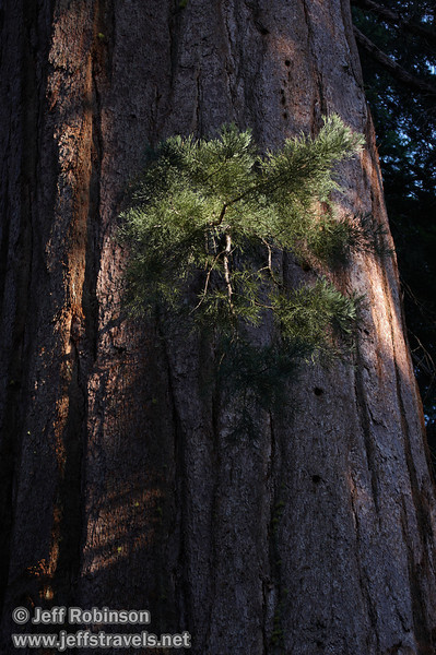 Sunlit green needles on a small branch against the shaded trunk of a large Giant Sequoia (7/16/2011, South Grove Hike, Calaveras Big Trees SP)
