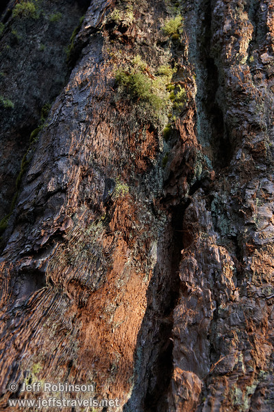 Close up showing the texture and green moss on the bark at the base of a Giant Sequoia (7/16/2011, South Grove Hike, Calaveras Big Trees SP)