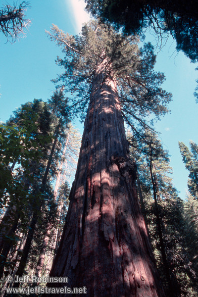 Looking up at a giant sequoia against blue sky with white clouds. This is probably the Agassiz Tree, the largest sequoia in the park (July 2002, South Grove, Calaveras Big Trees SP)(July 2002, South Grove, Calaveras Big Trees SP)