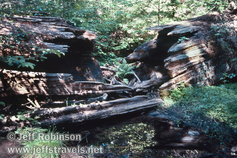 Green ferns and bushes through the broken middle of a fallen sequoia (July 2002, South Grove, Calaveras Big Trees SP)