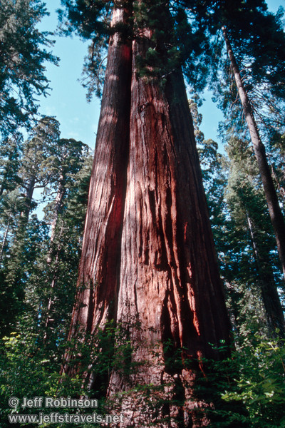 Two good-size sequoias with some sun on them growing next to each other (July 2002, South Grove, Calaveras Big Trees SP)