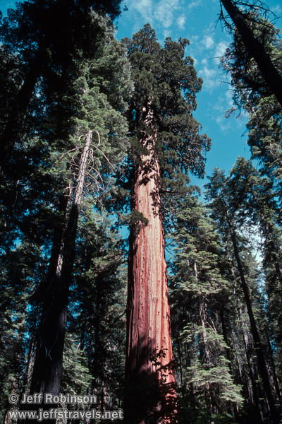 Sunlit sequoia in the forest against blue sky and scattered clouds (July 2002, South Grove, Calaveras Big Trees SP)