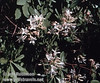 White blossoms on what is likely a Western Azalea (July 2002, South Grove, Calaveras Big Trees SP)