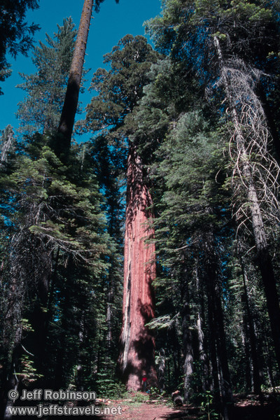 A large sequoia surrounded by smaller trees (July 2002, South Grove, Calaveras Big Trees SP)