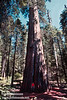 Lynda in front of a large sequoia with a tall, narrow burn scar going up it (July 2002, South Grove, Calaveras Big Trees SP)
