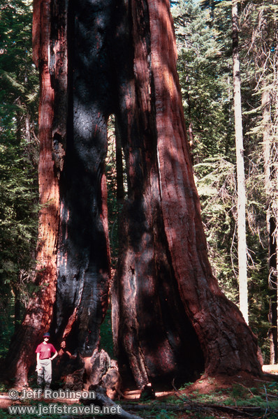 Lynda standing in front of a sequoia with much of the middle burned out, so the base is really two halves you can walk between. This is probably the Chimney Tree. (July 2002, South Grove, Calaveras Big Trees SP)