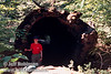 Lynda standing in front of a fallen sequoia with a hollow tunnel through it (July 2002, South Grove, Calaveras Big Trees SP)
